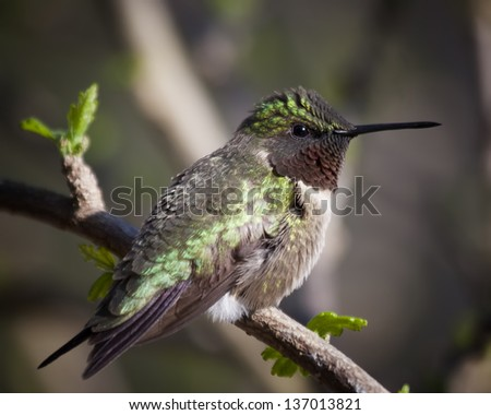 Hummingbird at Rest - stock photo