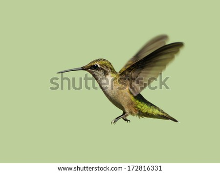 Hummingbird. Beautiful female ruby throated hummingbird in motion, isolated on green. - stock photo