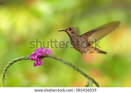 Hummingbird Brown Violet-ear, Colibri delphinae, bird flying next to beautiful pink flower, nice flowered orange green background, animal in the nature habitat, Costa Rica  - stock photo