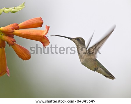 Hummingbird drinking nectar from a flower - stock photo