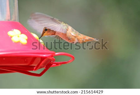 Hummingbird drinking sweet water, Arizona - stock photo