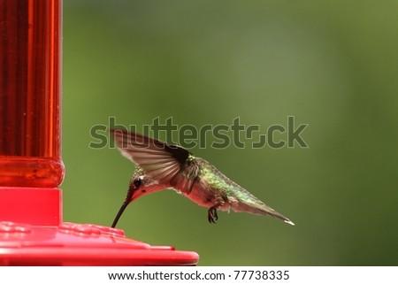 Hummingbird enjoying some sweet nectar. - stock photo