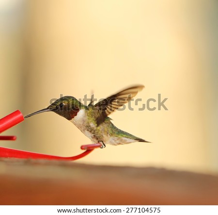 hummingbird feeding - stock photo