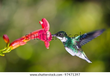 hummingbird feeding at red flower - stock photo