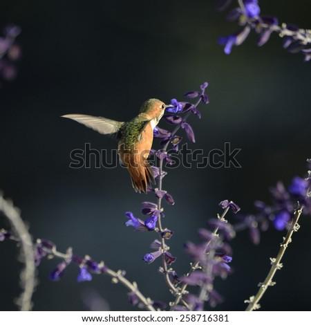 Hummingbird feeding from blue flower. - stock photo