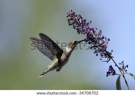 Hummingbird feeding on a Butterfly bush. - stock photo