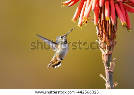 Hummingbird feeding on aloe vera flower - stock photo