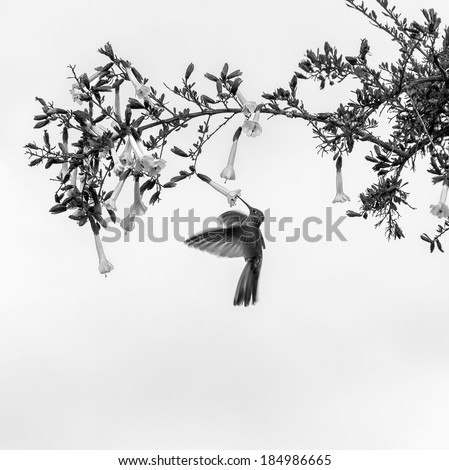 Hummingbird feeding on flower - Peru (black and white) - stock photo