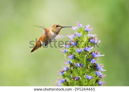 Hummingbird feeding on Pride of Madeira Flowers. - stock photo