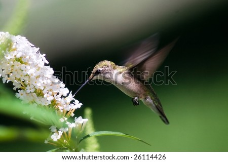 hummingbird finds a treat at a butterfly bush - stock photo