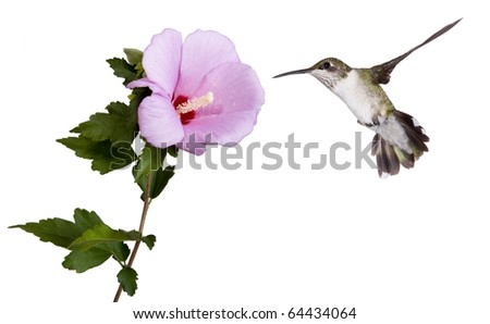 hummingbird floats into a  pink rose of sharon flower as it prepares to eat the flowers nectar; wings spread back; tail fluffed; white background