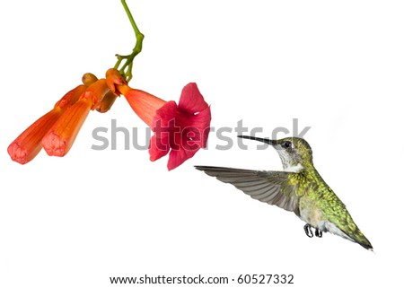 hummingbird floats into the flower of a trumpet vine; white background - stock photo