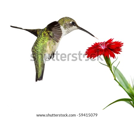 hummingbird floats over a red dianthus; white background - stock photo