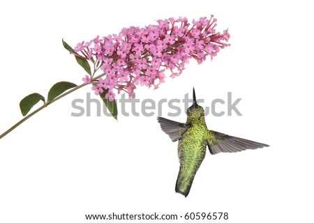 hummingbird floats under a pink butterfly bush; wings spread back view; white background - stock photo