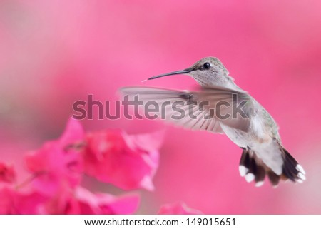 Hummingbird flying to Bougainvillea flower. - stock photo