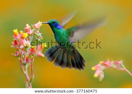 Hummingbird Green Violet-ear, Colibri thalassinus, bird fling next to beautiful ping orange yellow flower in natural habitat, bird from mountain tropical forest, Savegre, Costa Rica - stock photo