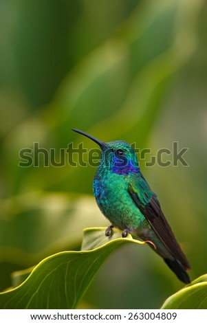 Hummingbird Green Violet-ear (Colibri thalassinus) with green flower in natural habitat, Savegre, Costa Rica - stock photo