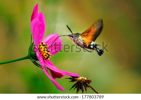 Hummingbird Hawk Moth - stock photo