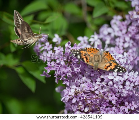Hummingbird hawk moth and American Lady butterfly on a lilac bush - stock photo