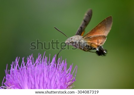 hummingbird hawk-moth hovering over a flower (Macroglossum stellatarum) - stock photo