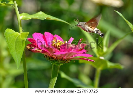Hummingbird Hawk-moth Macroglossum stellatarum  - stock photo