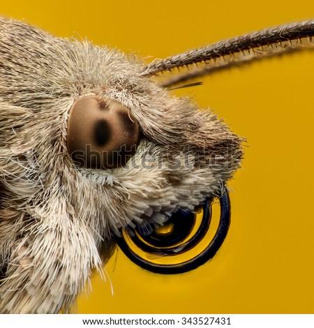 Hummingbird hawk-moth portrait, extreme magnification - stock photo