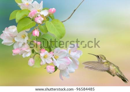 Hummingbird hovering around apple blossom. Latin name - Archilochus colubris.Focus on bird. - stock photo