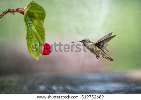 Hummingbird Hovering Near Begonia in Watery Mist