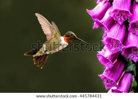 Hummingbird hovering next to pink flower over green background