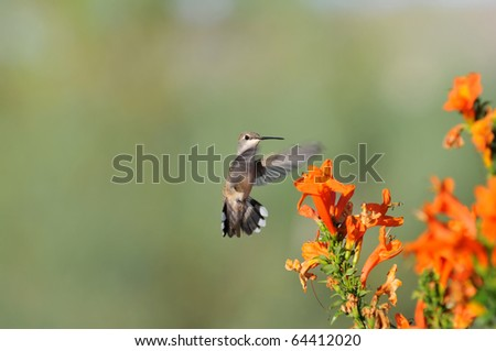 Hummingbird hovering over orange flowers - stock photo
