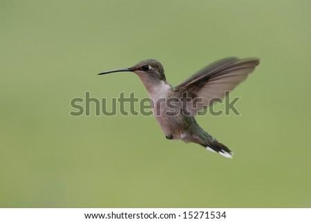Hummingbird in flight - stock photo
