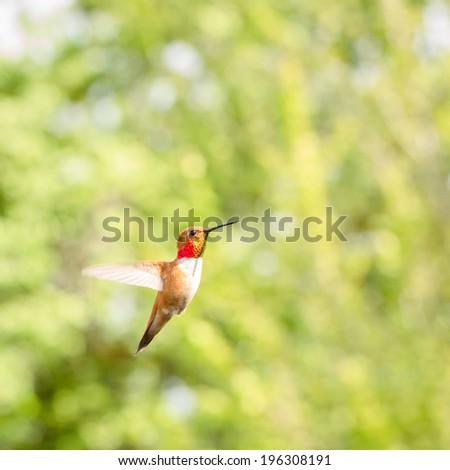 Hummingbird in Flight (2) - stock photo