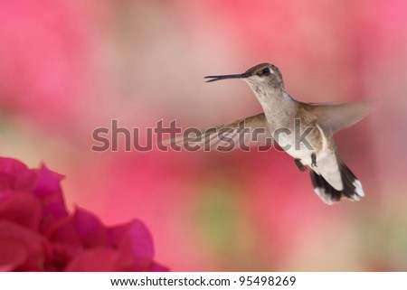 Hummingbird in Flight - stock photo