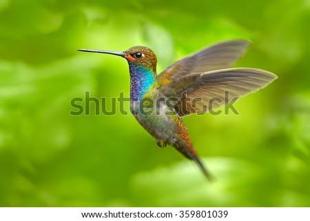 Hummingbird in flight, green forest nature habitat, White-tailed Hillstar, Urochroa bougueri,  Montezuma, Colombia - stock photo