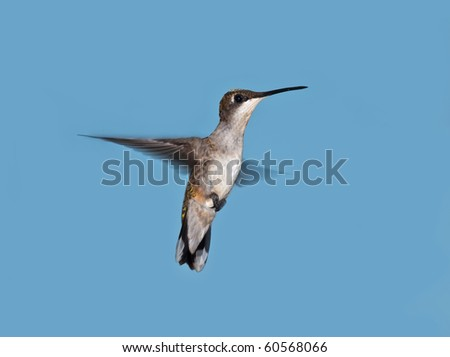 Hummingbird in flight with blue sky background - stock photo