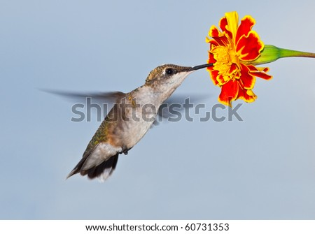 Hummingbird in flight with flower and sky background - stock photo
