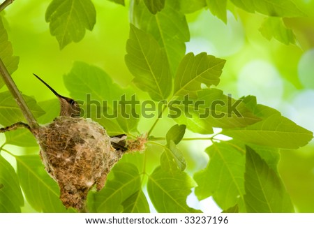Hummingbird in nest. Slight motion blur of leaves due to wind. Image made in uncontrolled environment and at 400mm. - stock photo