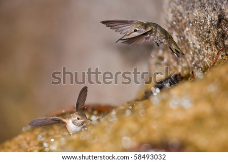 Hummingbird is bathing in Golden Gate Park waterfalls, San Francisco, California - stock photo