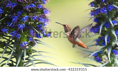 Hummingbird is hovering near Pride of Madeira flowers - stock photo