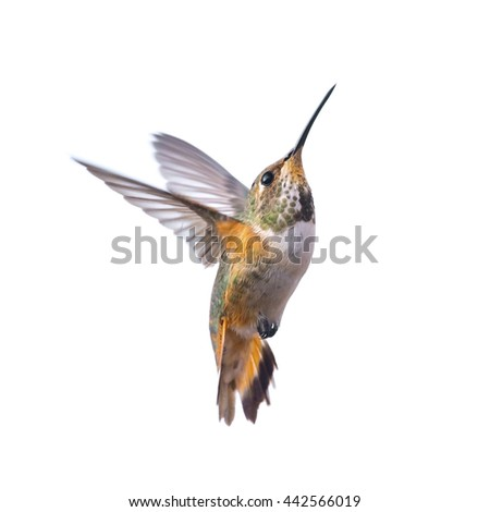 Hummingbird  Isolated on white background - stock photo