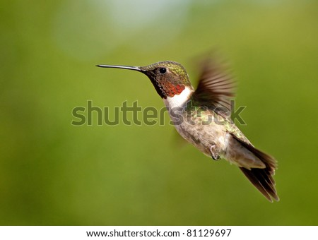 Hummingbird male hovering against green background - stock photo