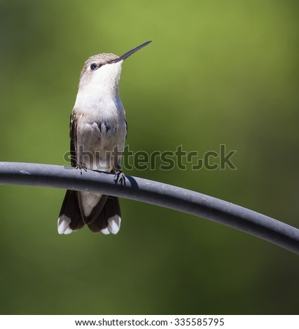 Hummingbird resting on a metal tube that is staring at something - stock photo