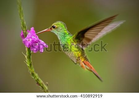 Hummingbird Rufous-tailed Hummingbird, Amazilia tzacat. Hummingbird with clear green background in Colombia. Humminbird in the nature habitat. Hummingbird flying next to beautiful pink flower. - stock photo