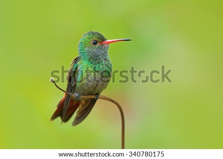 Hummingbird Rufous-tailed Hummingbird, Amazilia tzacat, with clear green background, Colombia - stock photo