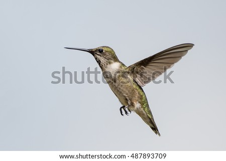 Hummingbird's Flight Frozen in Action