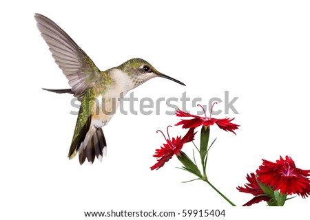 hummingbird spreads her tail over three red dianthus; white background - stock photo