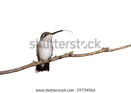 hummingbird sticks her tongue out while perched on a branch; white background - stock photo