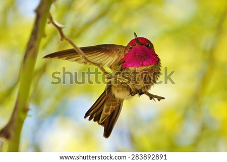 Hummingbird Stretching its Wing - stock photo