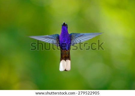 Hummingbird Violet Sabrewing, Campylopterus hemileucurus, flying in the tropical forest, La Paz, Costa Rica - stock photo