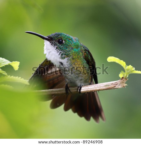 Hummingbird White-chested Emerald (Amazilia brevirostris) - Asa Wright Nature Centre, Trinidad - stock photo